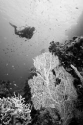 B&amp;W at Yolanda Reef's Coral Garden, Ras Mohamed Park, Egypt. by Erich Reboucas 